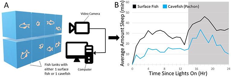 Figure 2 - Measuring sleep in cavefish.