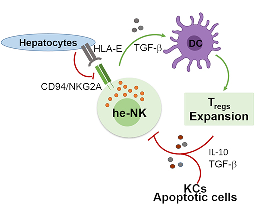 Frontiers | Hepatic Natural Killer Cells: Organ-Specific Sentinels