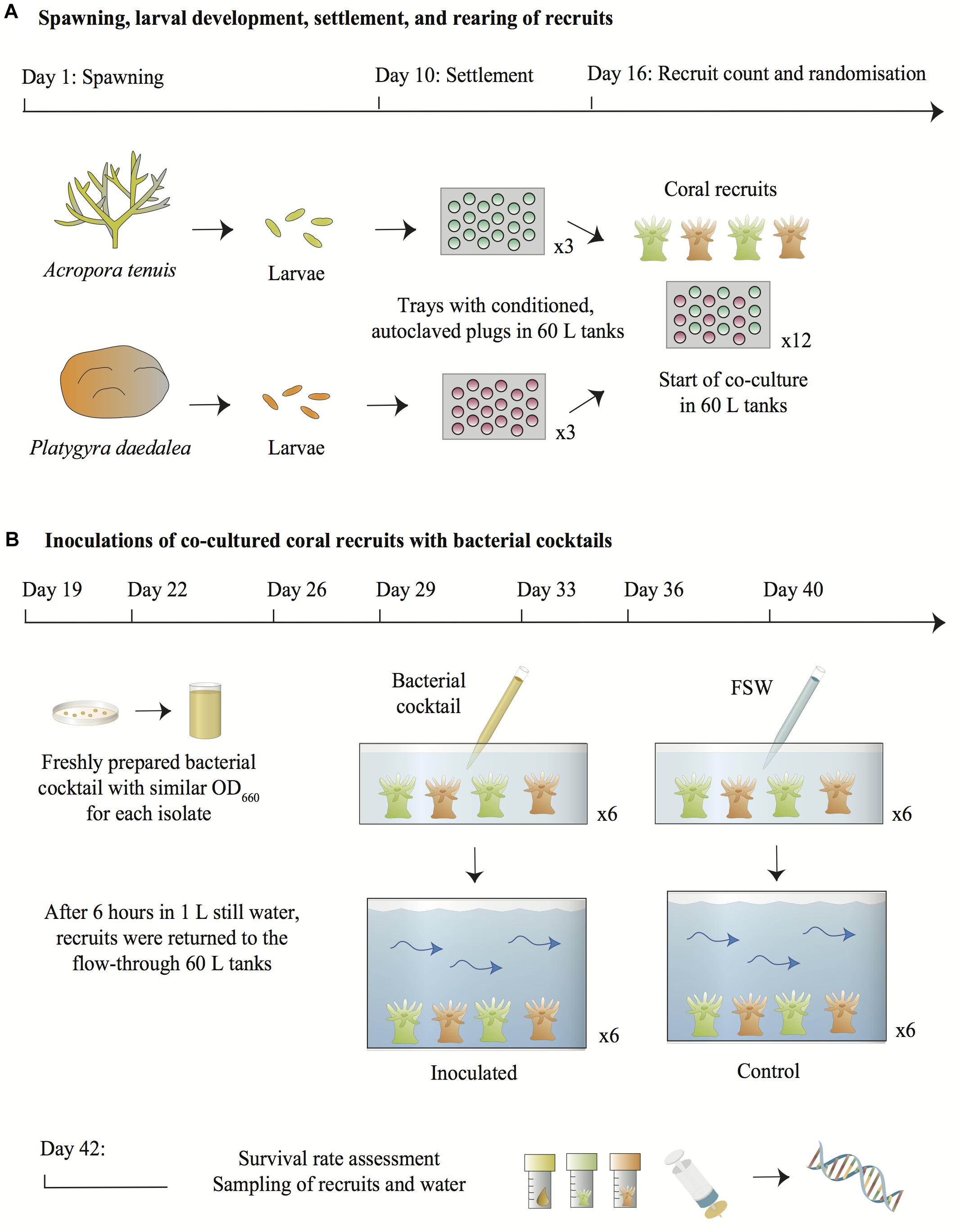 Frontiers | Experimental Inoculation of Coral Recruits With Marine