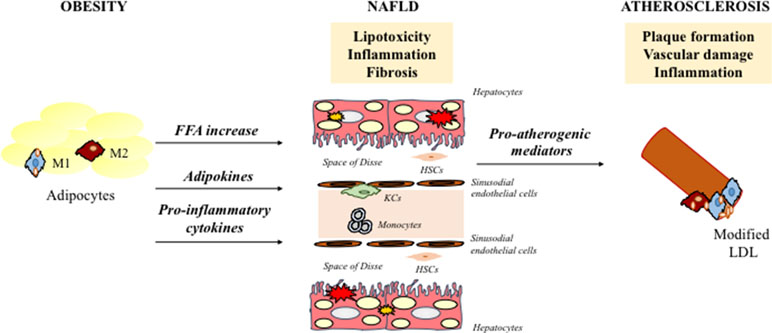 Frontiers   Role of Myeloid-Epithelial-Reproductive Tyrosine
