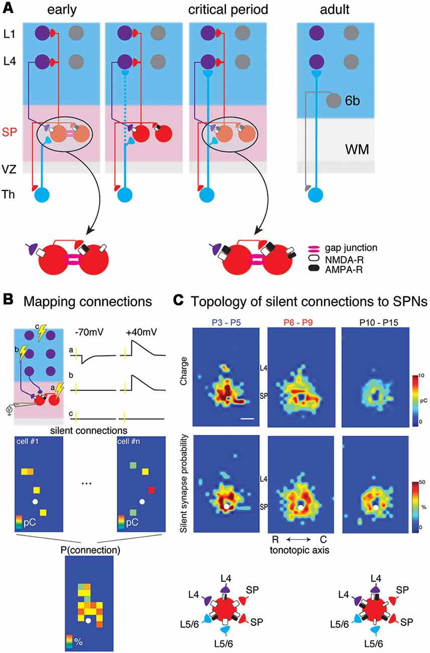 3d Map Of Mouse Neurons Reveals Complex Connections Nature >> Frontiers The Integrative Function Of Silent Synapses On Subplate
