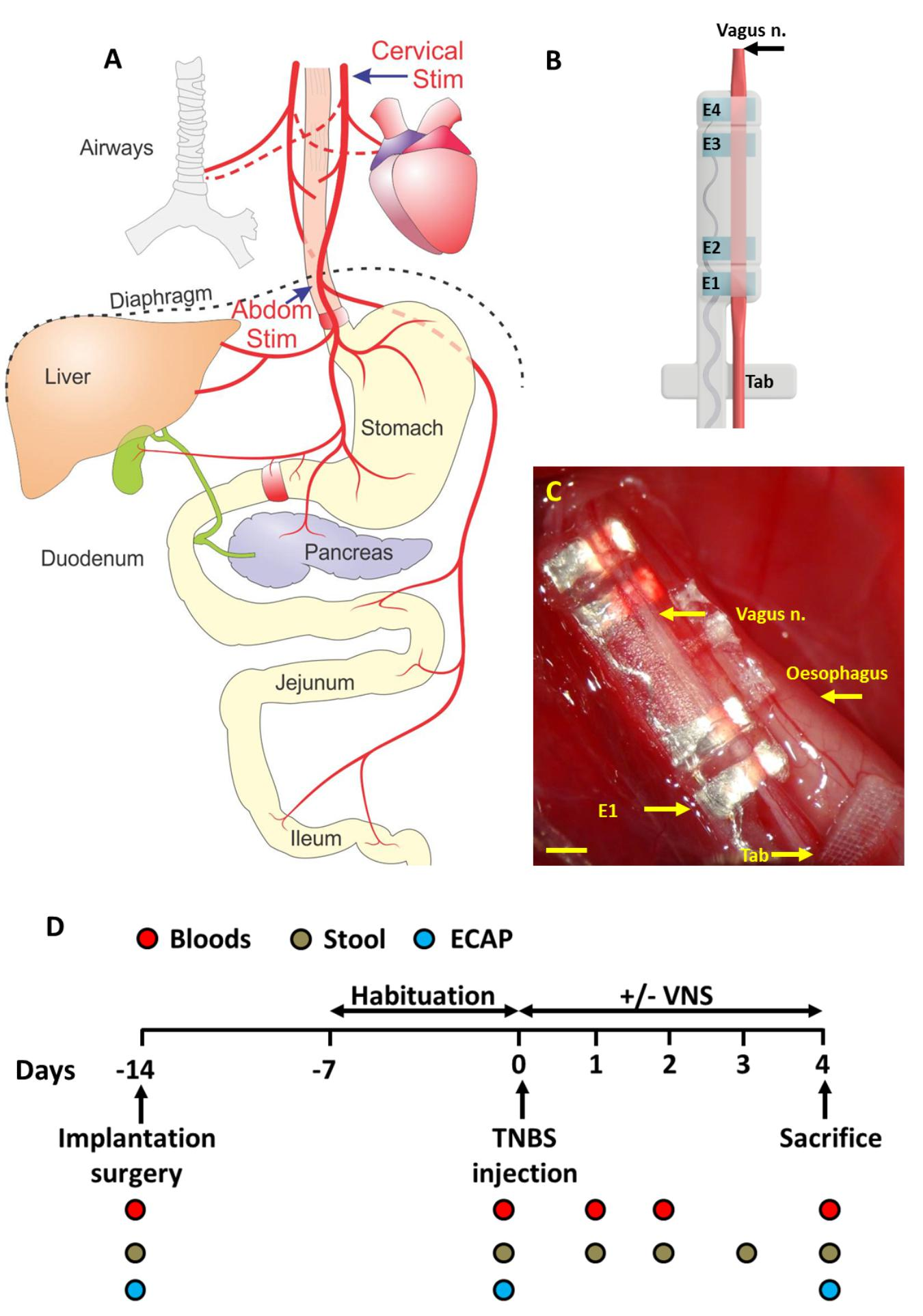 Frontiers | Anti-inflammatory Effects of Abdominal Vagus Nerve ...