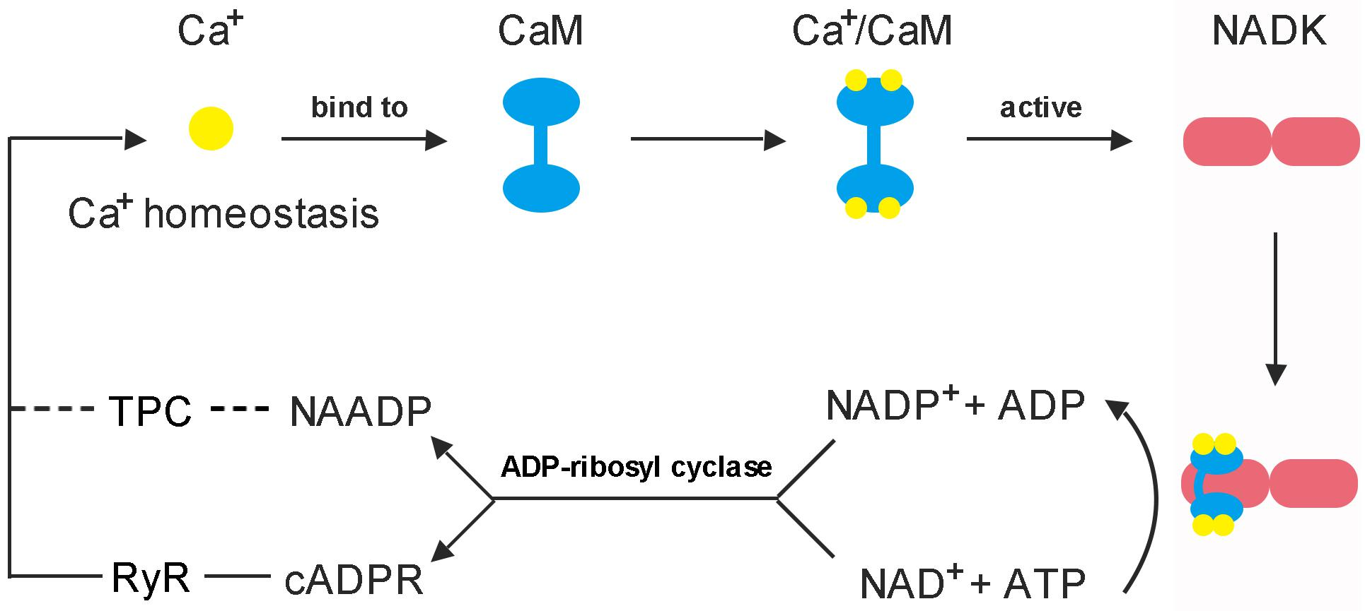 Frontiers | Calmodulin Is the Fundamental Regulator of NADK-Mediated