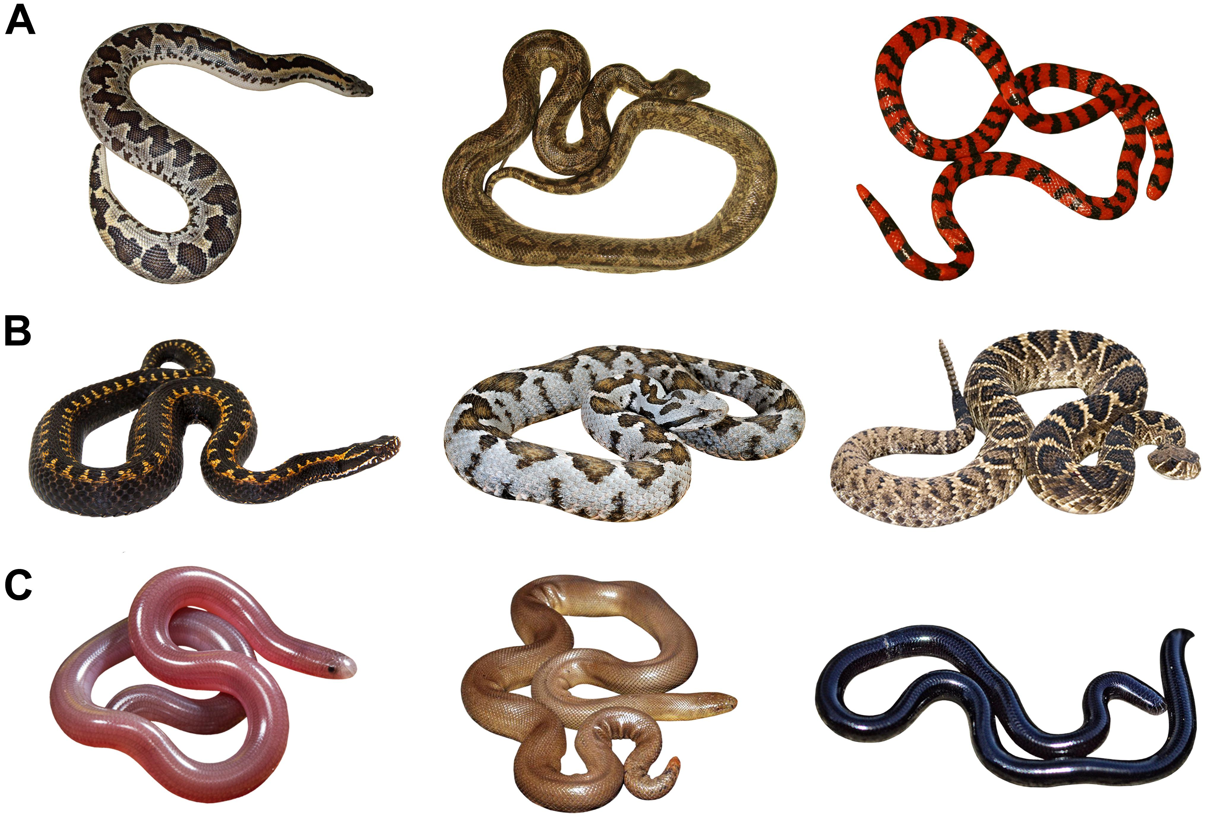 Frontiers Snakes Represent Emotionally Salient Stimuli