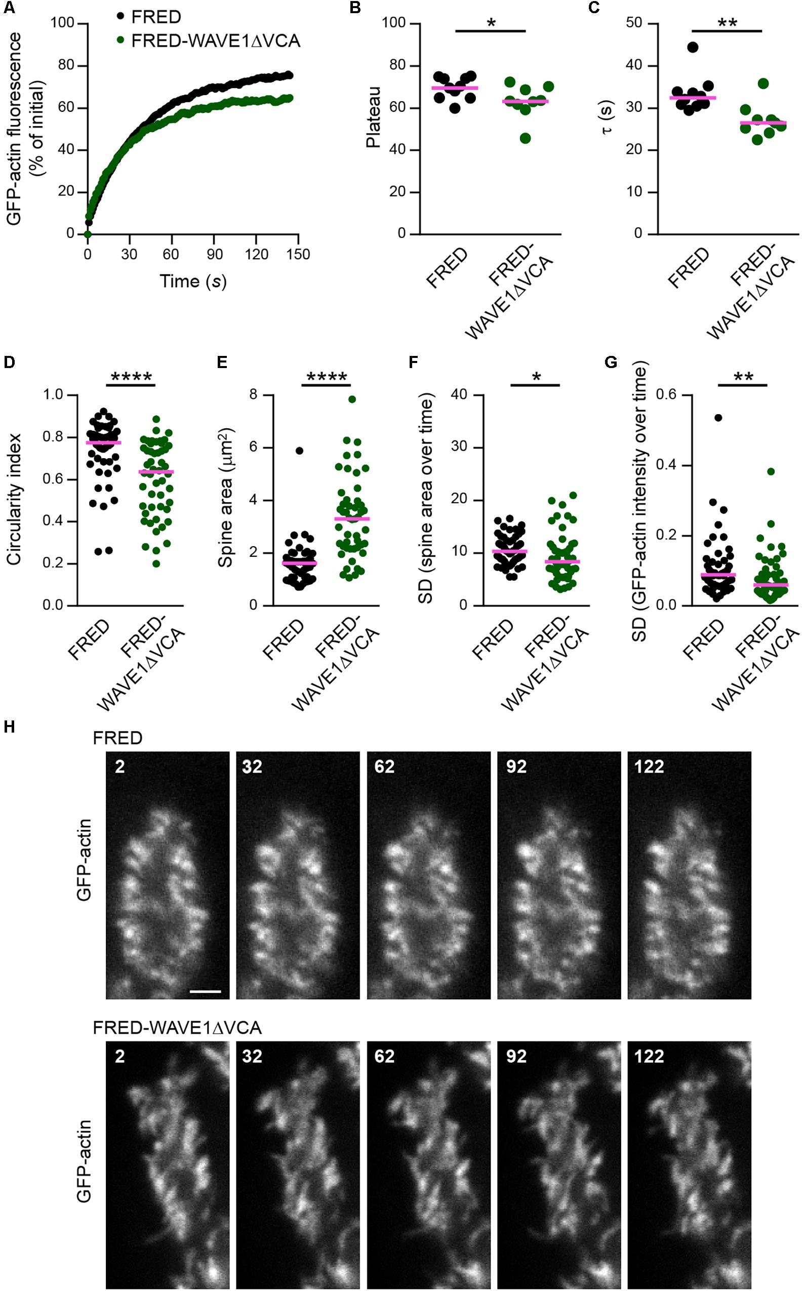 Frontiers   Myosin XVI Regulates Actin Cytoskeleton Dynamics