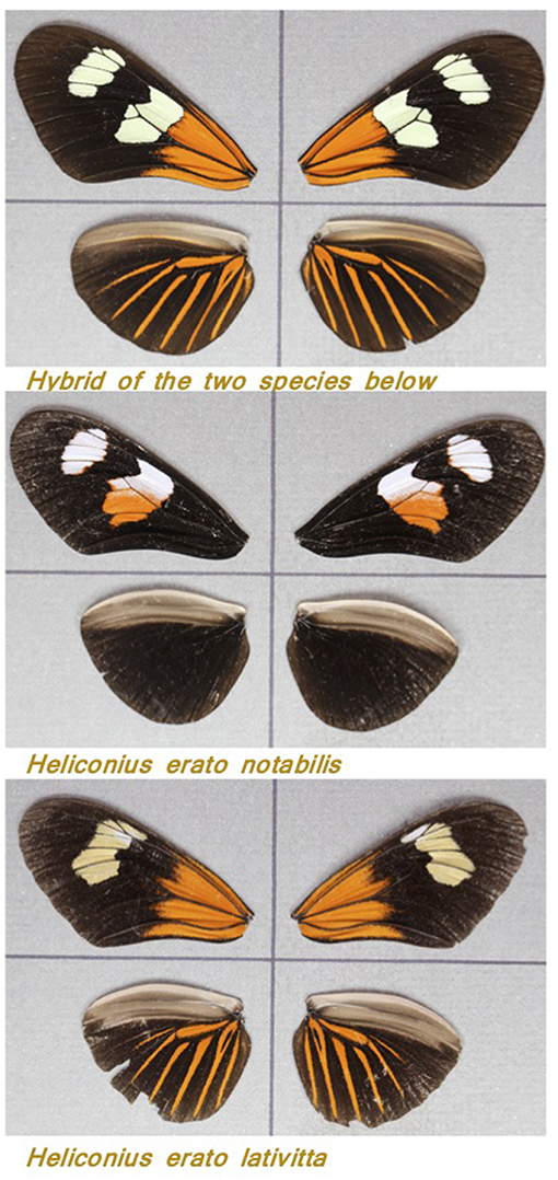 Figure 3 - Wings of three Heliconious butterflies.