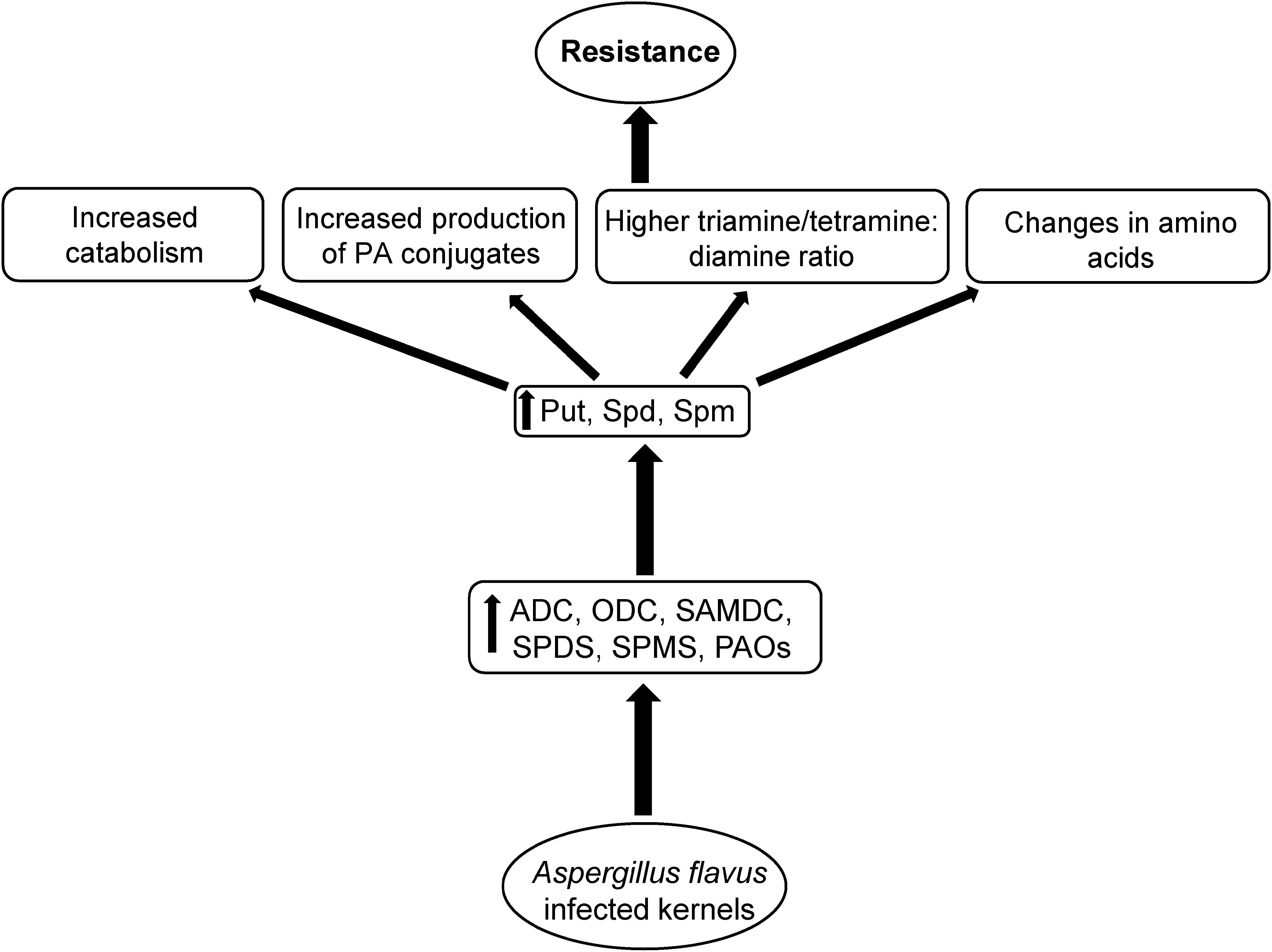 Frontiers | Contribution of Maize Polyamine and Amino Acid