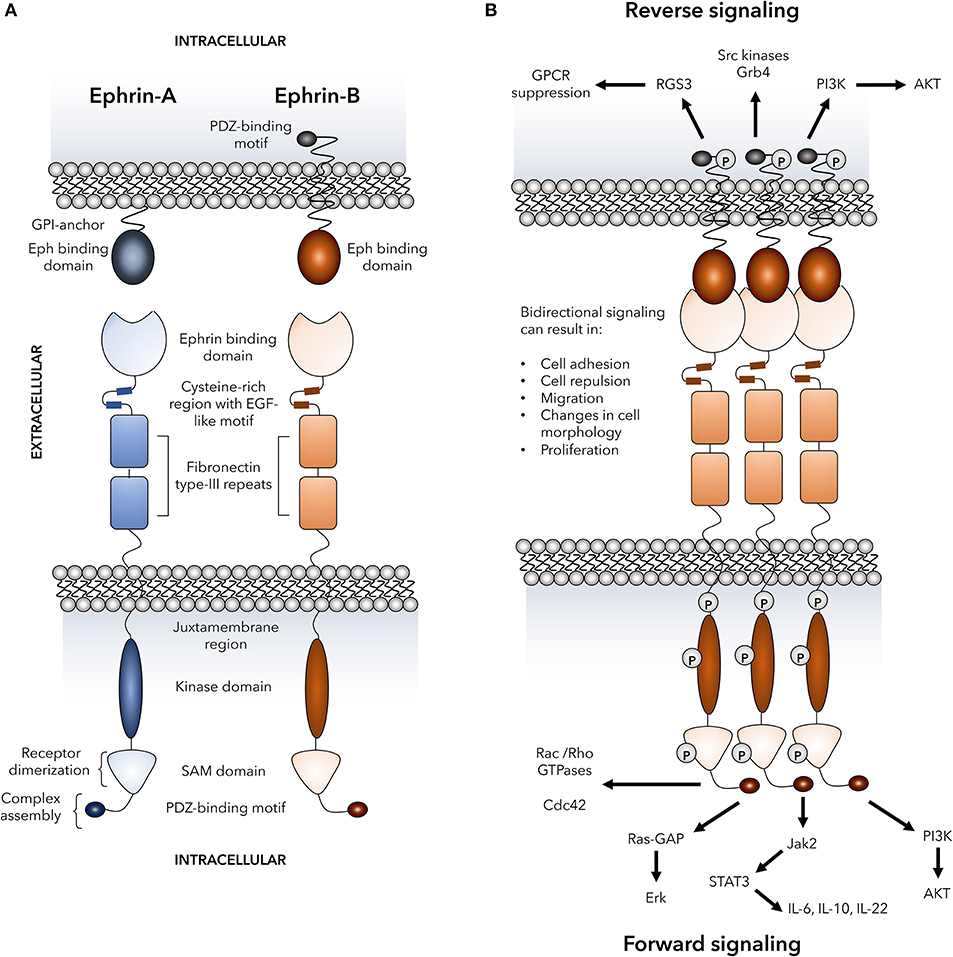 Frontiers | Emerging Roles for Eph Receptors and Ephrin
