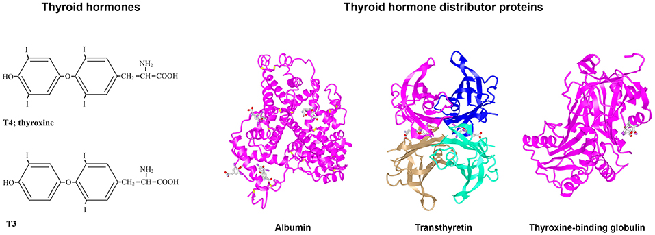 Frontiers Thyroid Hormone Distributor Proteins During Development In Vertebrates Endocrinology