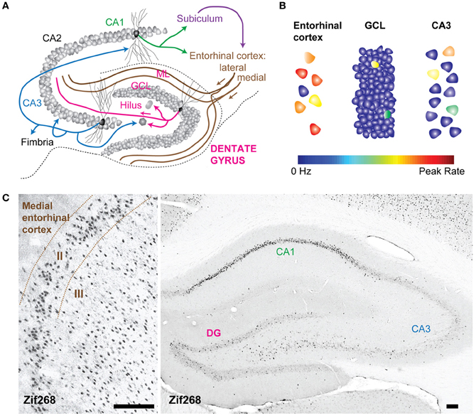 Frontiers | Neurogenesis in the dentate gyrus: carrying the message ...