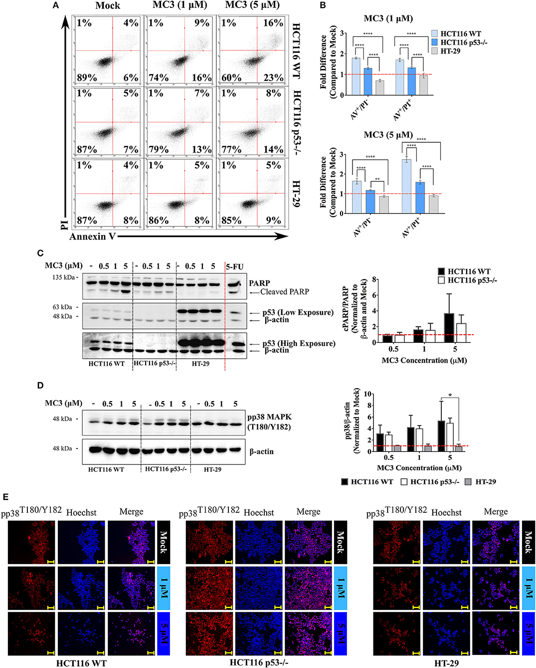 Frontiers | p53-Dependent Anti-Proliferative and Pro