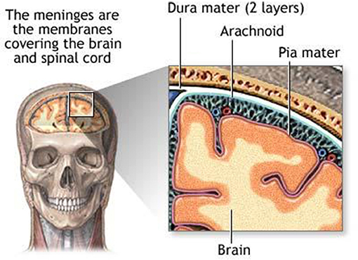 Figure 2 - The membranes covering the brain and spinal cord are called the meninges.