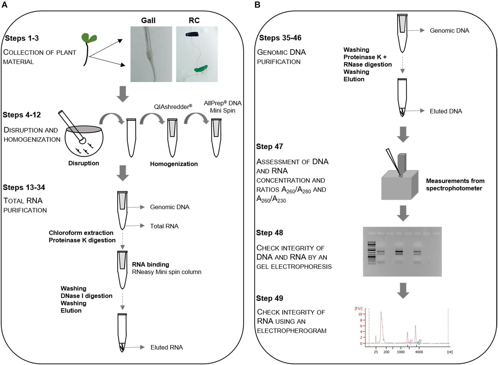 Frontiers All In One High Quality Genomic Dna And Total Rna Extraction From Nematode Induced Galls For High Throughput Sequencing Purposes Plant Science