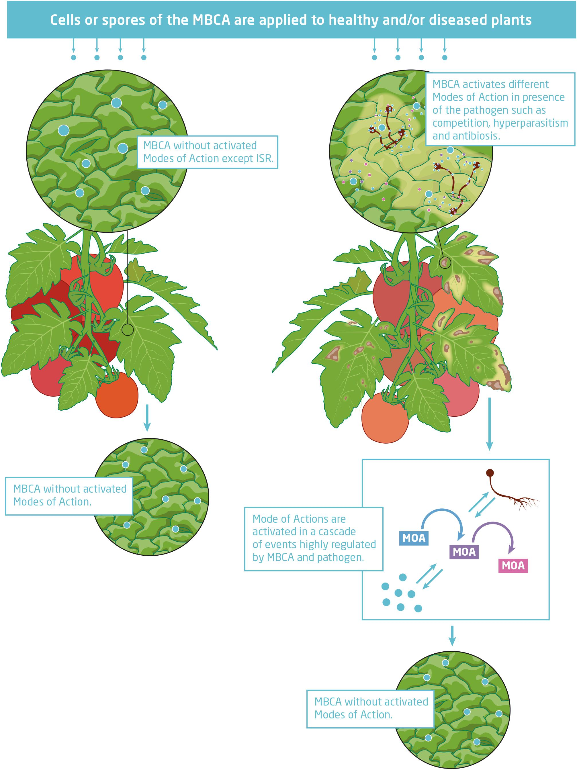 Frontiers Mode Of Action Of Microbial Biological Control Agents Against Plant Diseases Relevance Beyond Efficacy Plant Science