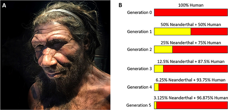 Figure 1 - (A) A picture of a Neanderthal at the Natural History Museum in London (UK) (by Allan Henderson|CC BY 2.0 Flickr).