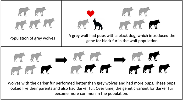 Figure 2 - Because of hybridization with dogs, wolves acquired the genetic variant for black fur.