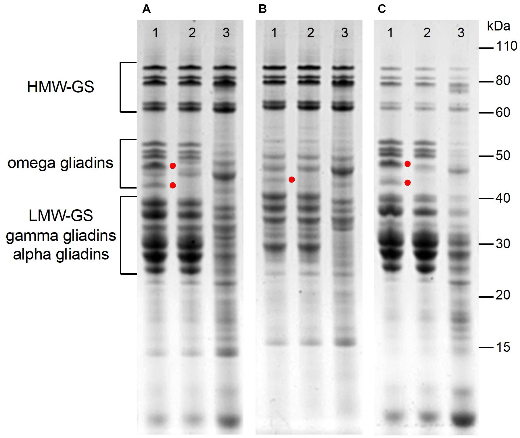 Frontiers   Elimination of Omega-1,2 Gliadins From Bread