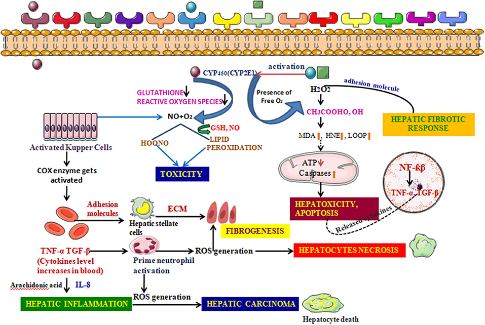Frontiers | Role of Natural Phenolics in Hepatoprotection: A