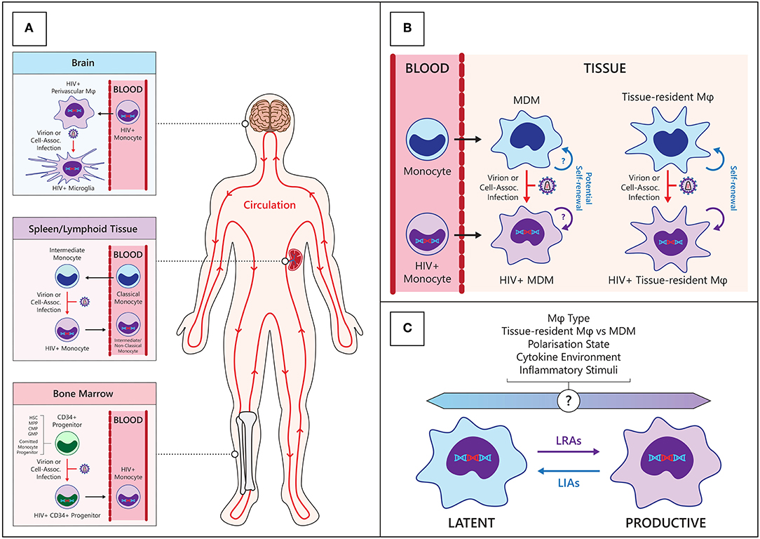Frontiers | The HIV Reservoir in Monocytes and Macrophages | Immunology