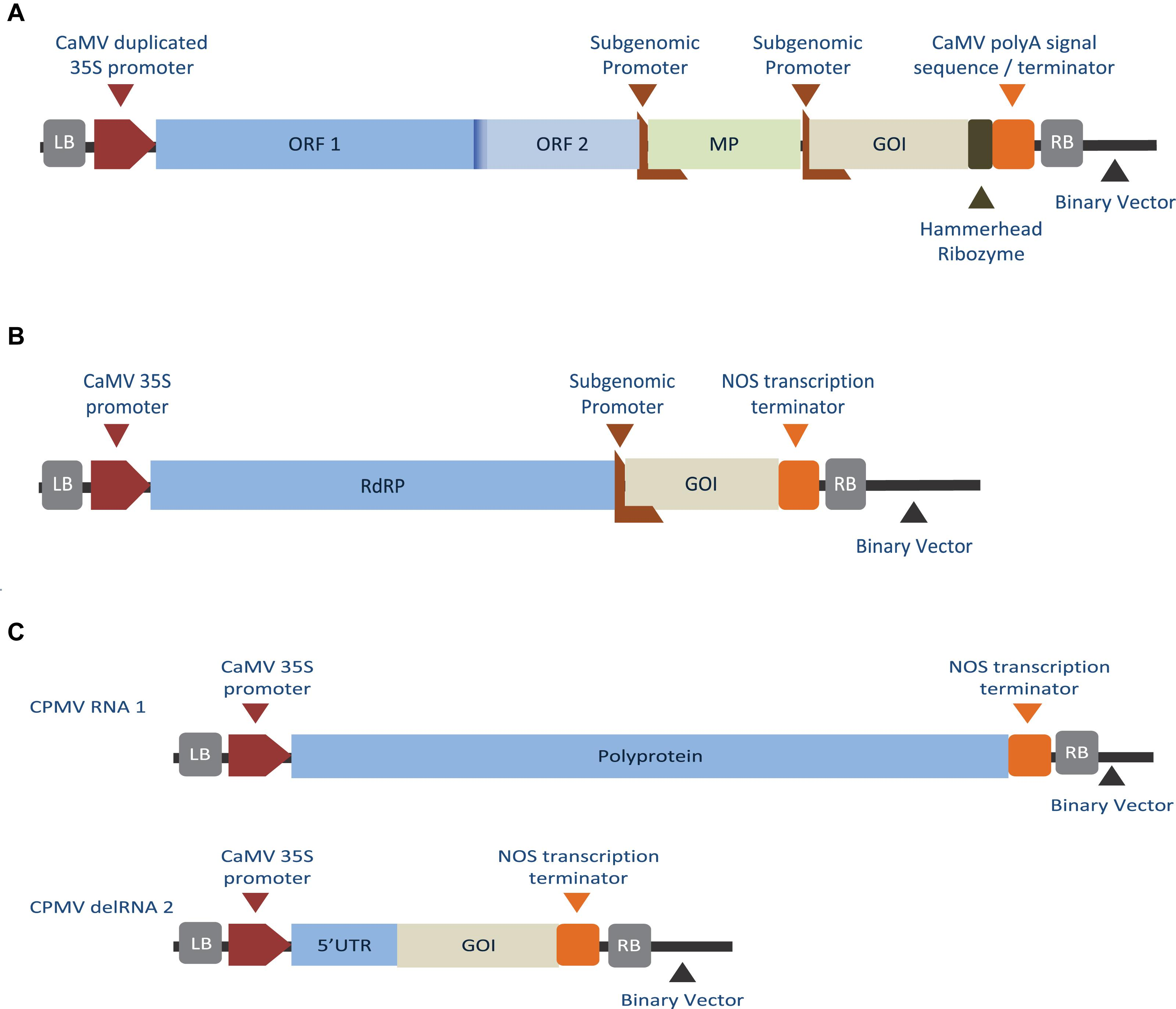 Frontiers | Plant Viruses in Plant Molecular Pharming: Toward the