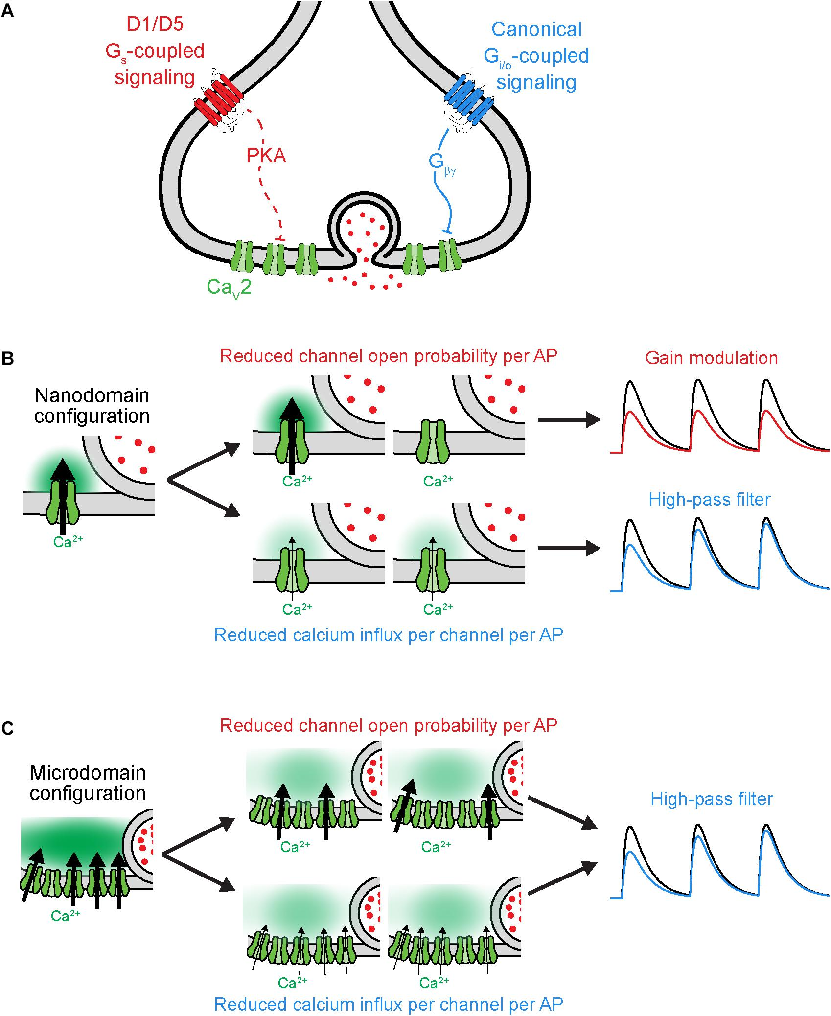 Frontiers | Modulation of Ion Channels in the Axon