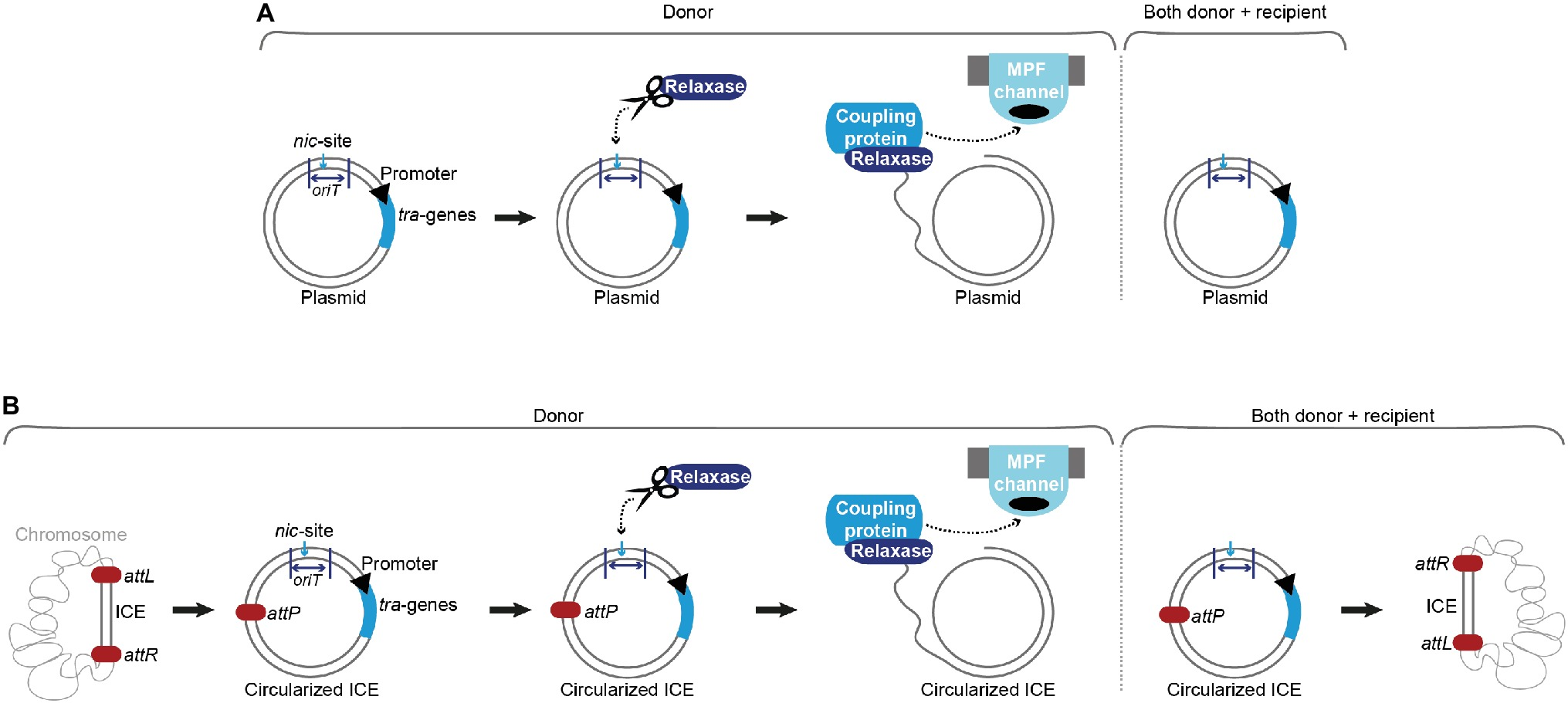 Frontiers | Regulation of Gram-Positive Conjugation | Microbiology