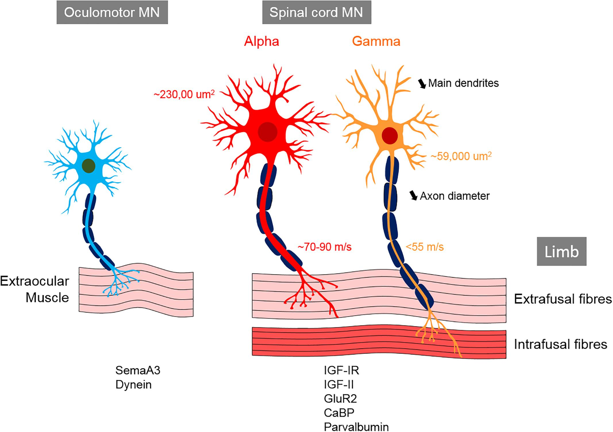 Frontiers | Motor Neuron Susceptibility in ALS/FTD