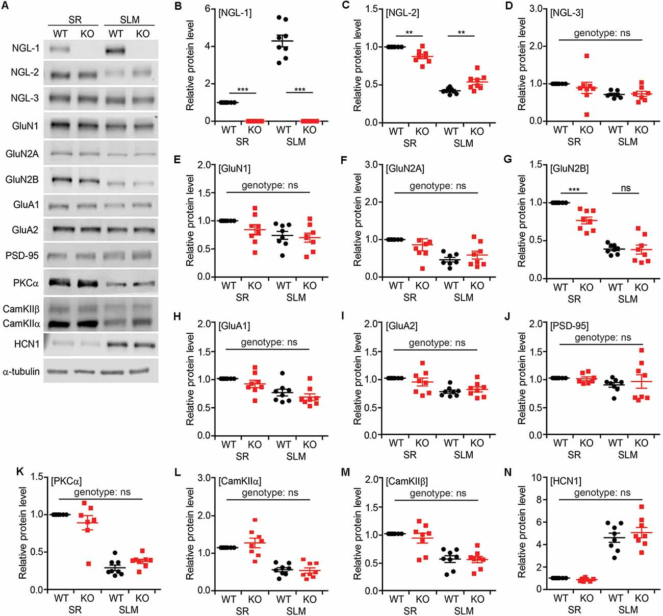 Frontiers | NGL-1/LRRC4C Deletion Moderately Suppresses Hippocampal