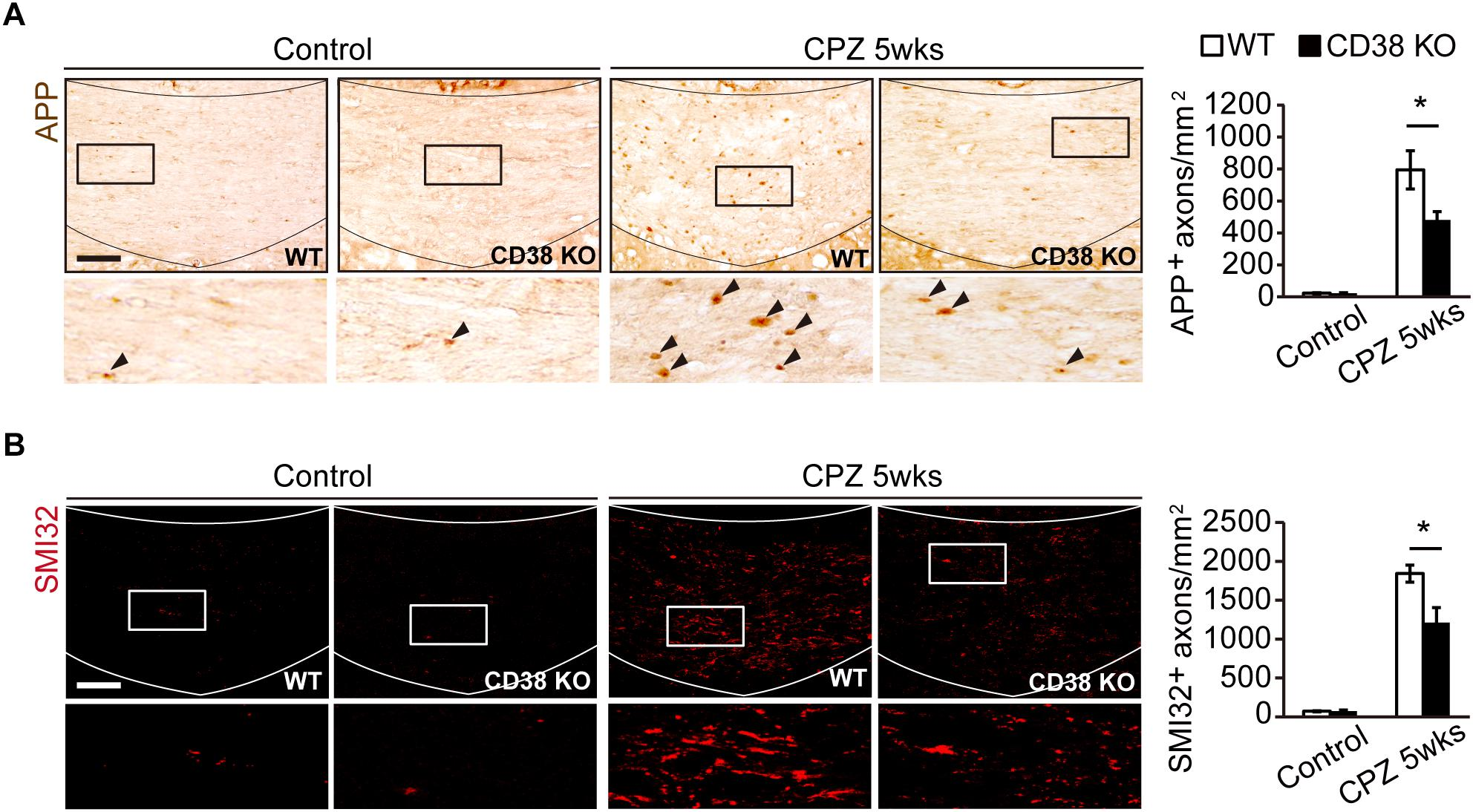 Frontiers | Deletion of CD38 Suppresses Glial Activation and