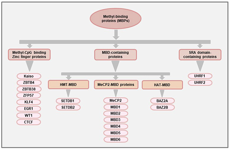 Frontiers | DNA Methylation Readers and Cancer: Mechanistic and