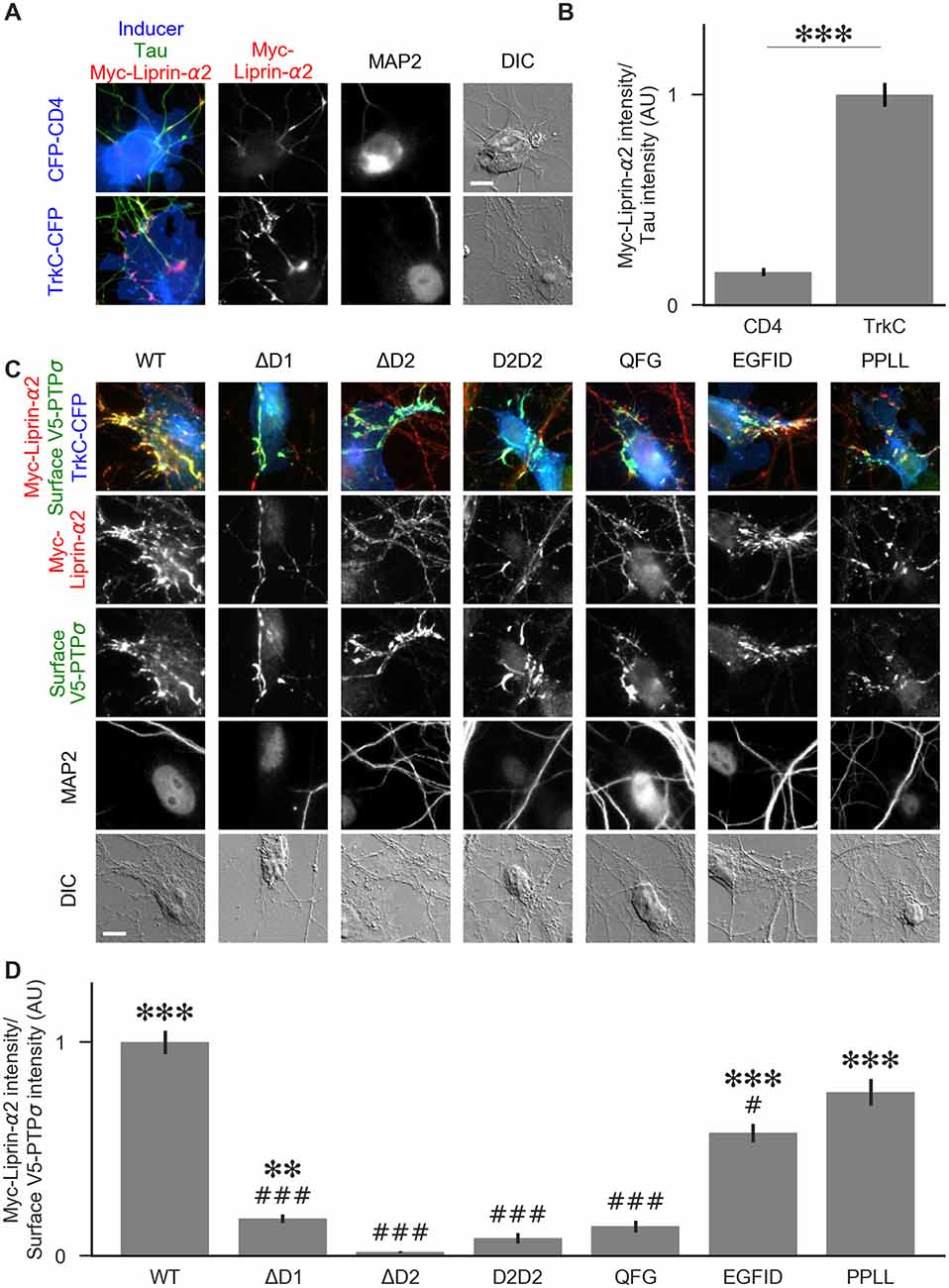 Frontiers | Mechanisms of PTPσ-Mediated Presynaptic