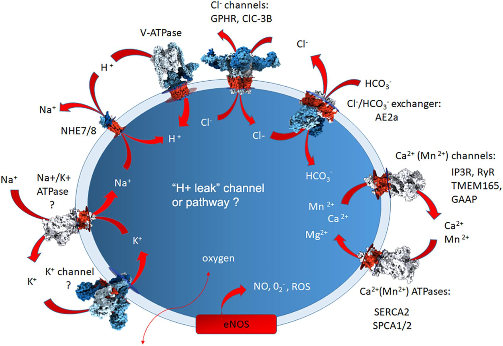 Frontiers | Golgi pH, Ion and Redox Homeostasis: How Much Do