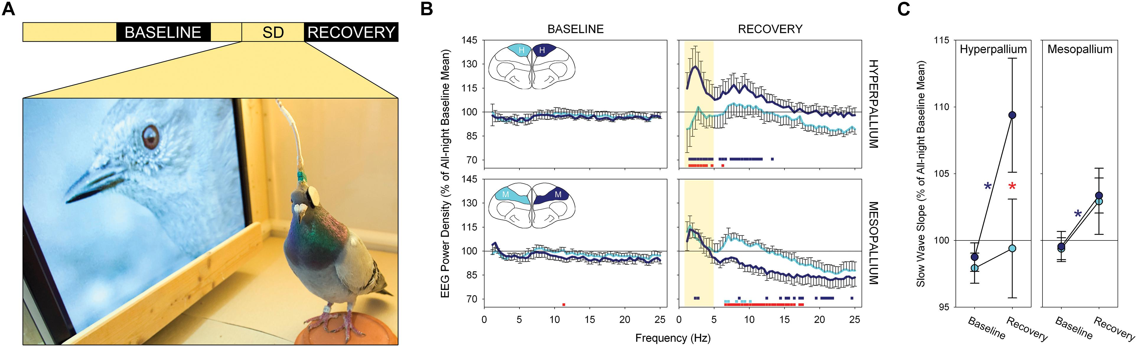 Frontiers | Local Aspects of Avian Non-REM and REM Sleep