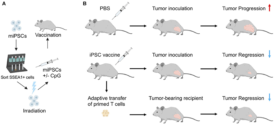 Frontiers | Induced Pluripotent Stem Cell-Based Cancer Vaccines