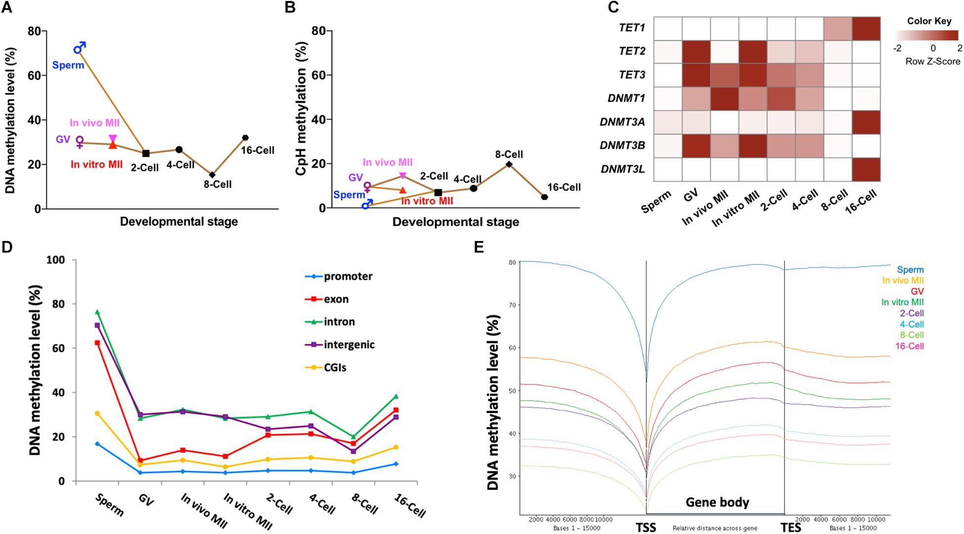 Frontiers | Methylome Dynamics of Bovine Gametes and in vivo Early