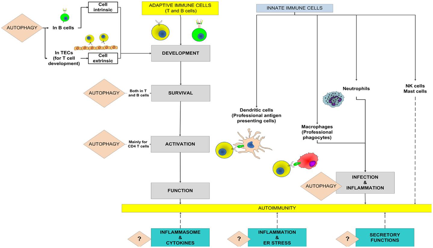 Frontiers | Autophagy and Autoimmunity Crosstalks | Immunology