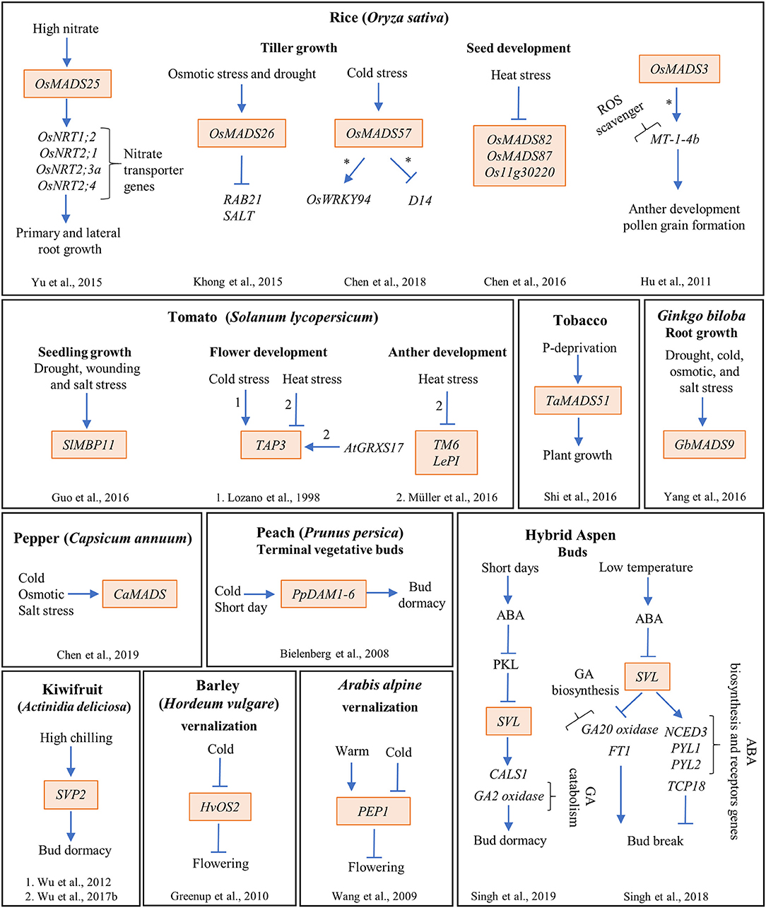 Frontiers | MADS-Box Genes Are Key Components of Genetic Regulatory