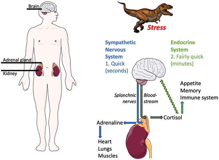 Figure 1 - What happens when we are stressed?