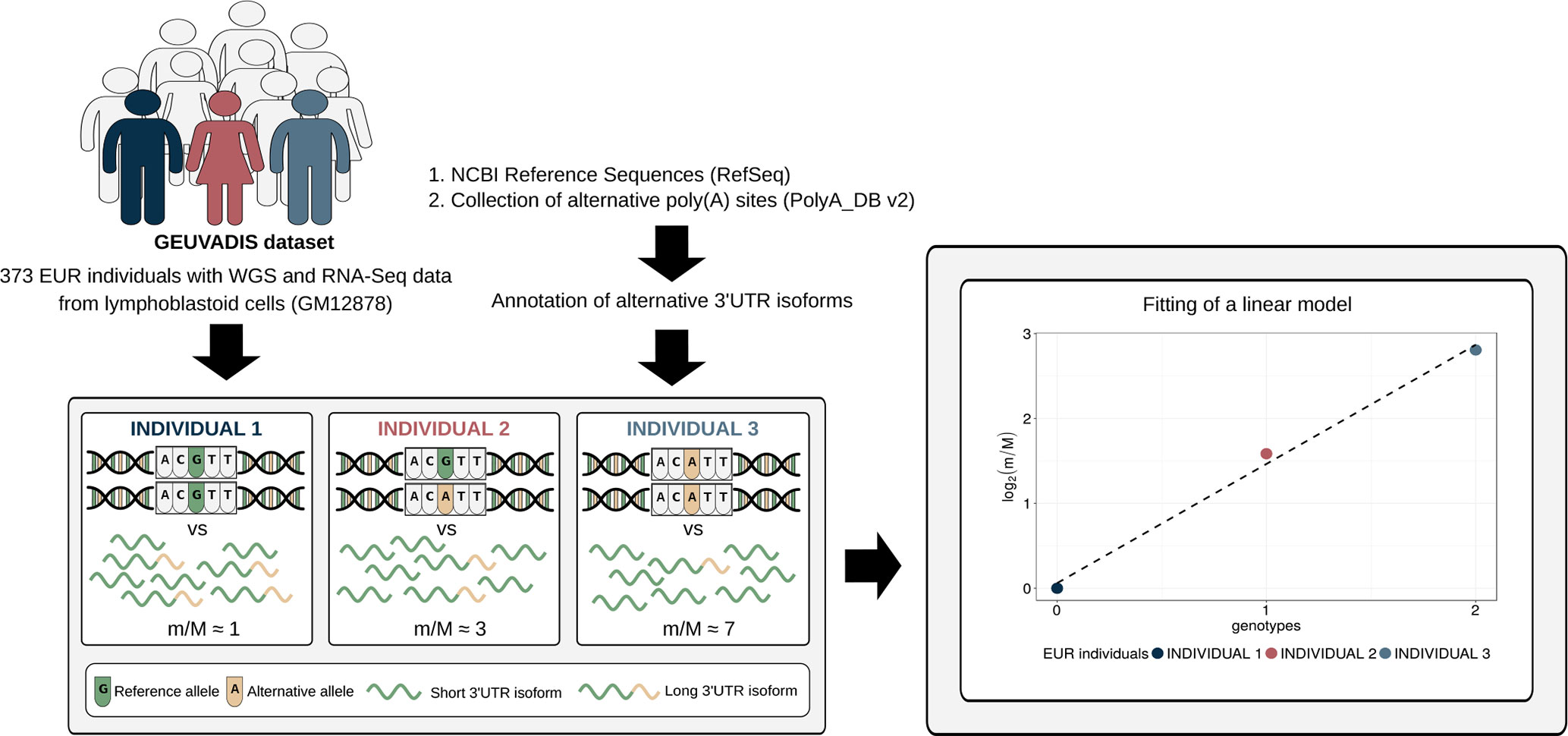 Frontiers | The Length of the Expressed 3′ UTR Is an