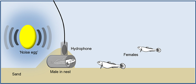 Figure 1 - Setup of the experiment to test the effects of noise on fish communication.