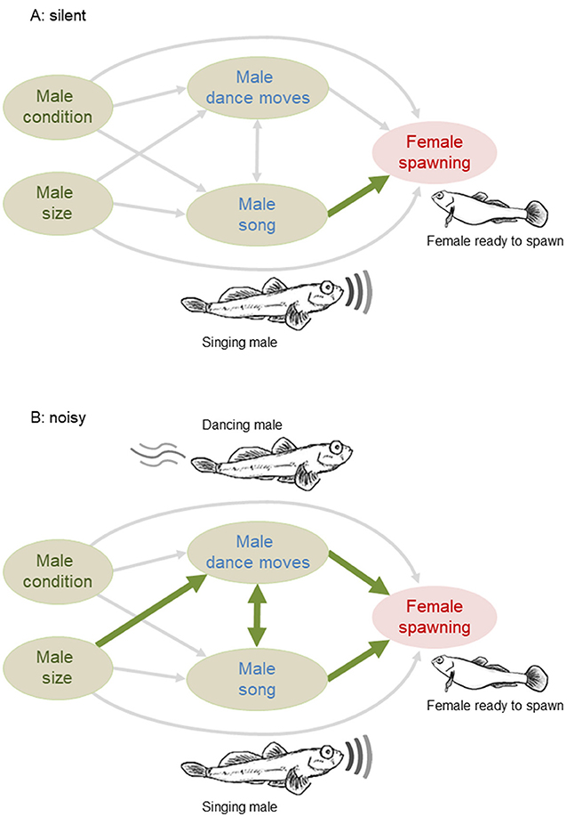 Figure 2 - We found relationships between the males' characteristics (size and condition), courtship behavior (song and dance moves), and likelihood of mating.