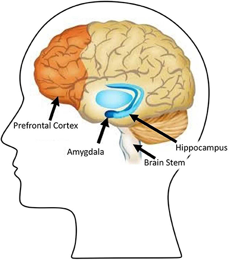 Figure 1 - When making a decision, various parts of the brain are activated, including the brain stem, pre-frontal cortex, hippocampus, and amygdala.