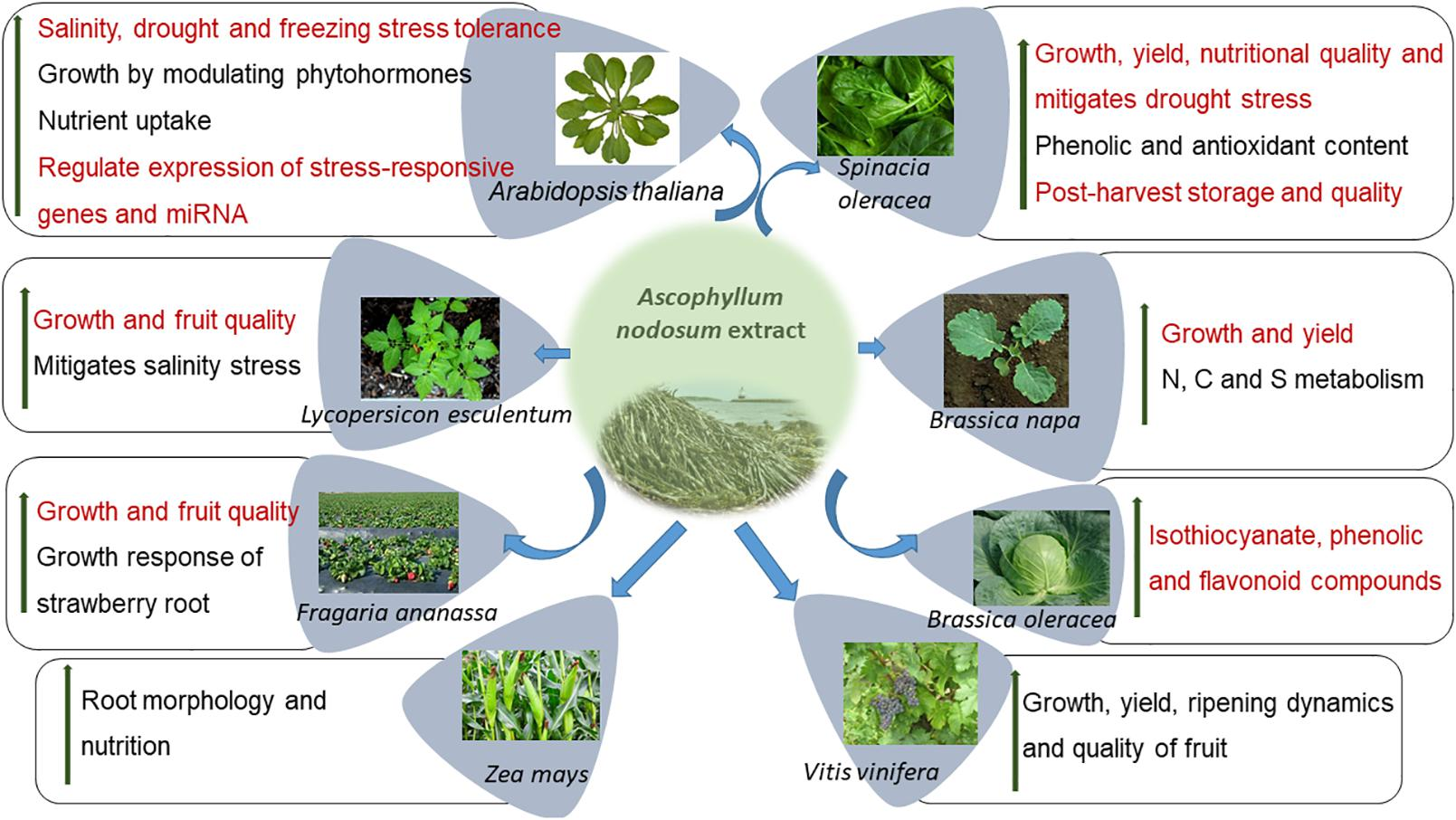 Frontiers | Ascophyllum nodosum-Based Biostimulants