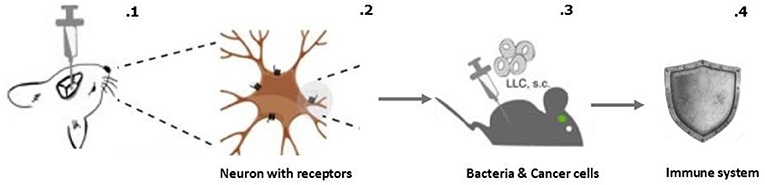 Figure 2 - Activating the reward system in the brain made the immune system fight bacteria and cancer cells more effectively.