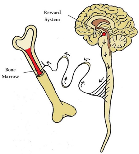 Figure 3 - Activating the reward system in the brain affects the sympathetic nervous system.