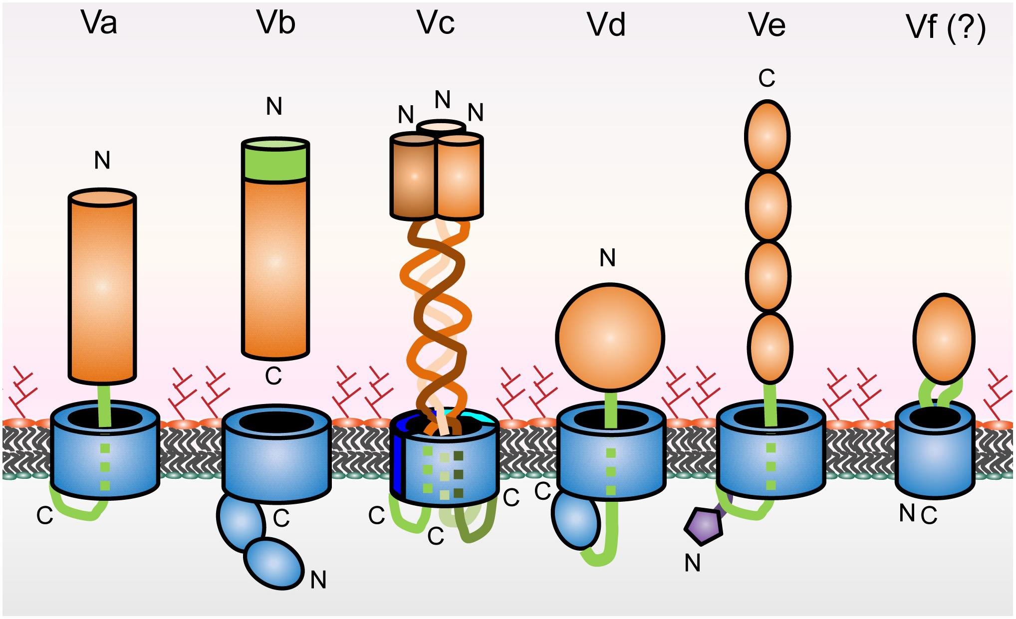 Frontiers | Type V Secretion Systems: An Overview of