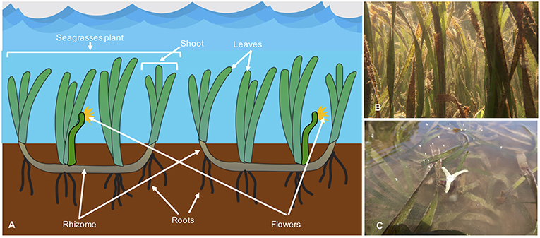 Figure 1 - (A) In this drawing of seagrass plants, the major structures of the plants are labeled.