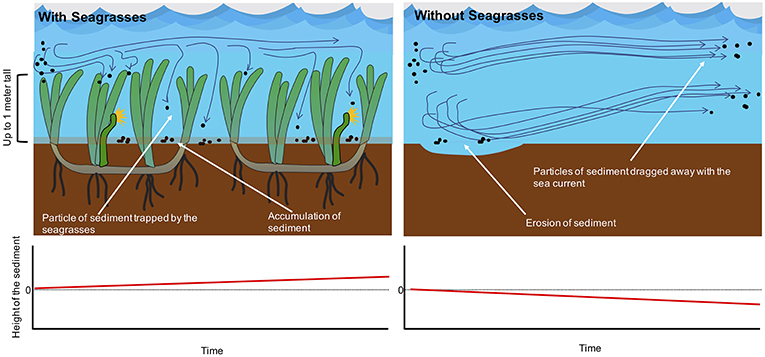 Figure 3 - Seagrasses help to trap sediment particles transported by sea currents.