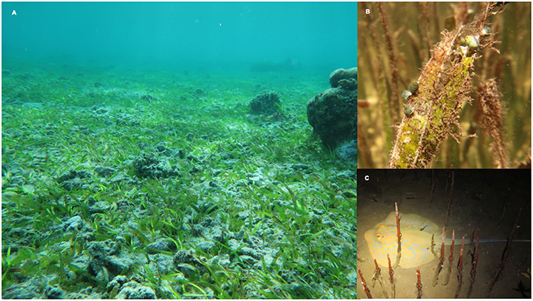 Figure 4 - (A) Seagrass meadow.