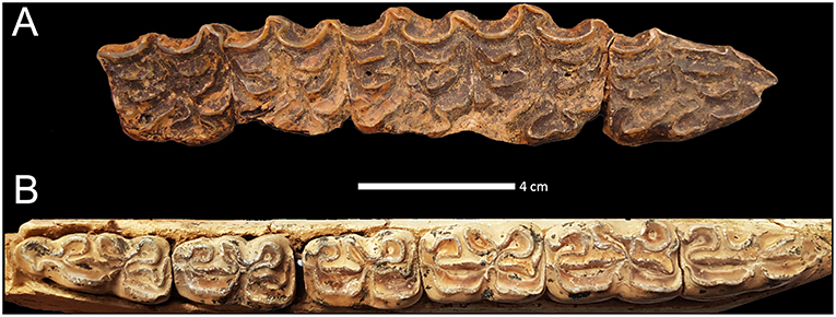 Frontiers Biostratigraphy And Palaeoecology Of European Equus